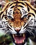 Tiger20111